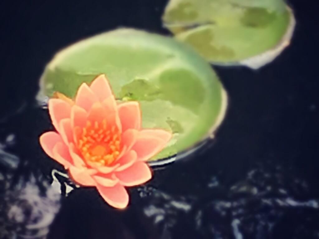 Water lilies remind me of new beginnings!